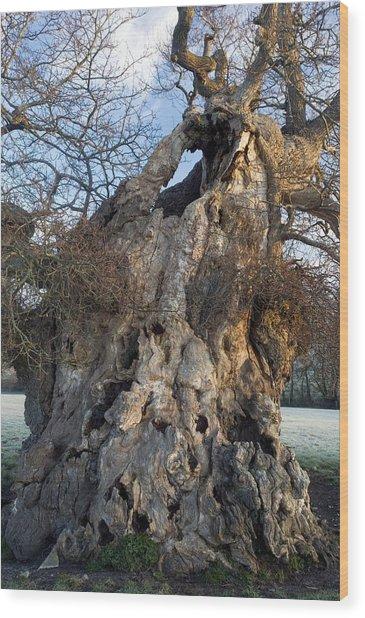 English Oak Tree (quercus Rober) At Dawn Wood Print by Bob Gibbons