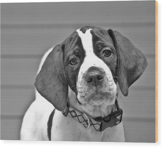 English Pointer Puppy Black And White Wood Print