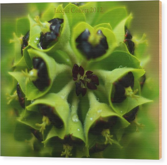 Euphorbia Wood Print by Jacqui Collett