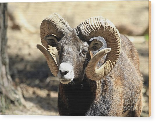European Big Horn - Mouflon Ram Wood Print