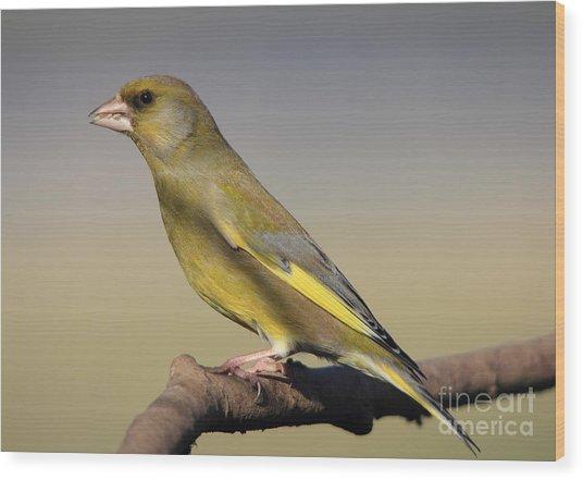 European Greenfinch Wood Print