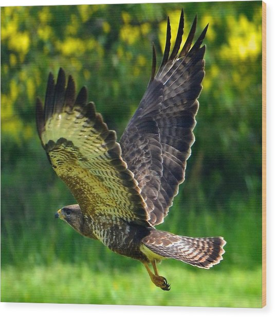 Falcon In Flight Wood Print