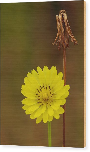 False Dandelion Flower With Wilted Fruit Wood Print