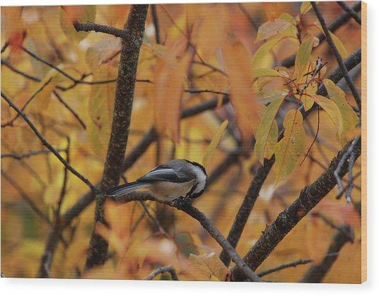 Feeding Chickadee Wood Print