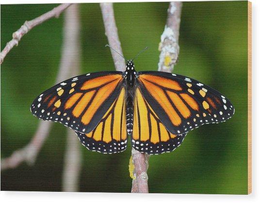 Female Monarch Wood Print