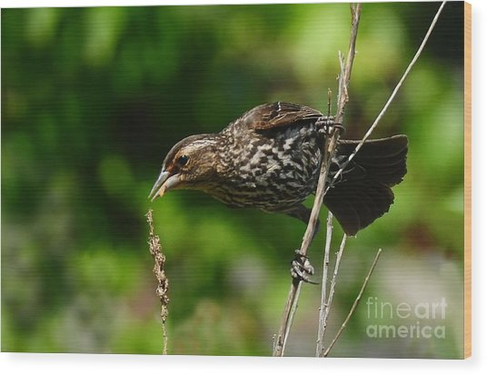 Female Red Wing Blackbird Wood Print