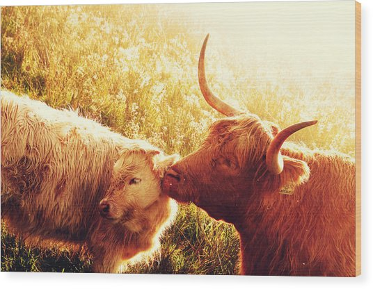 Fenella With Her Daughter. Highland Cows. Scotland Wood Print