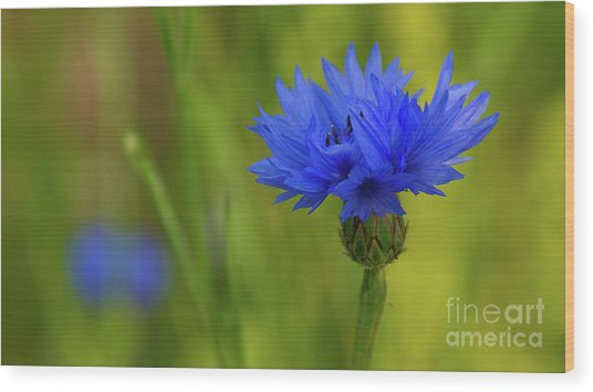 Field Flower - Blue-bottle Wood Print