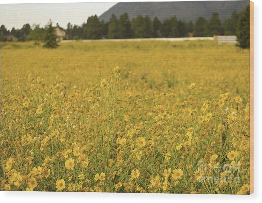 Field Of Yellow Daisy's Wood Print