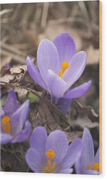 First Crocus Blooms Wood Print