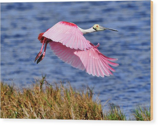 Flight A Roseate Spoonbill Wood Print