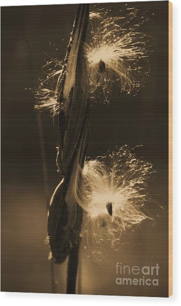 Flight Of The Milkweed Seed Wood Print