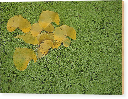 Floating Cottonwood Leaves Wood Print