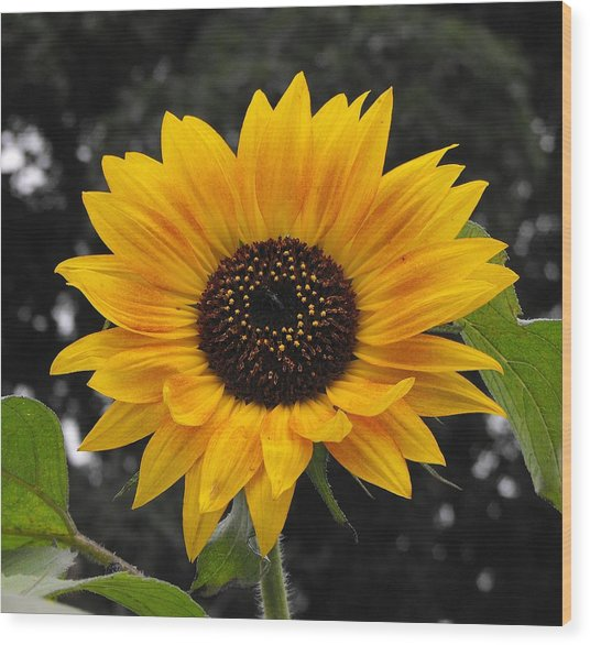 Flora Sunflower Wood Print