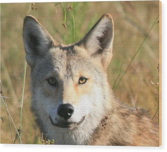 Florida Coyote Portrait  Wood Print