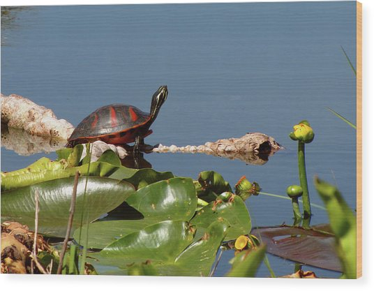 Florida Redbelly Turtle Wood Print
