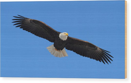 Flying Bald Eagle Wood Print