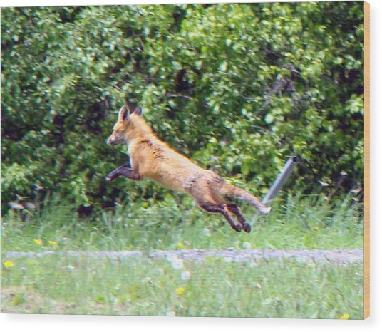 Flying Red Fox Wood Print by Mark Haley