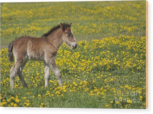 Foal In Field Wood Print by Conny Sjostrom