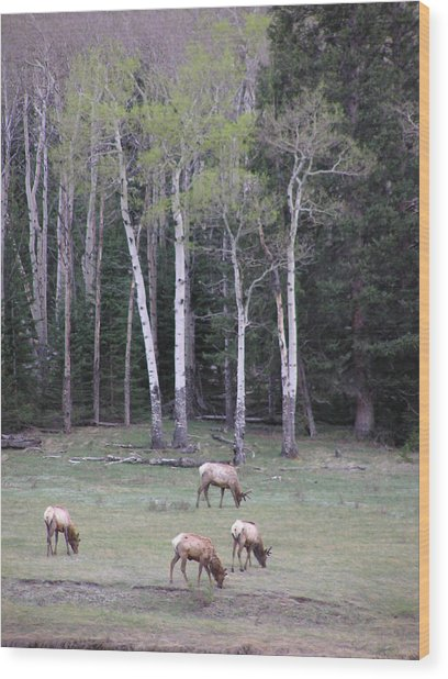 Four Elk   Four Aspen Wood Print
