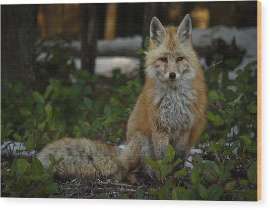 Fox In The Forest Wood Print by Warren Marshall
