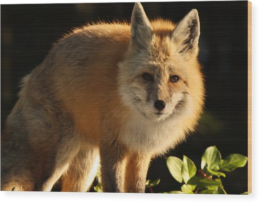 Fox In The Light Wood Print by Warren Marshall