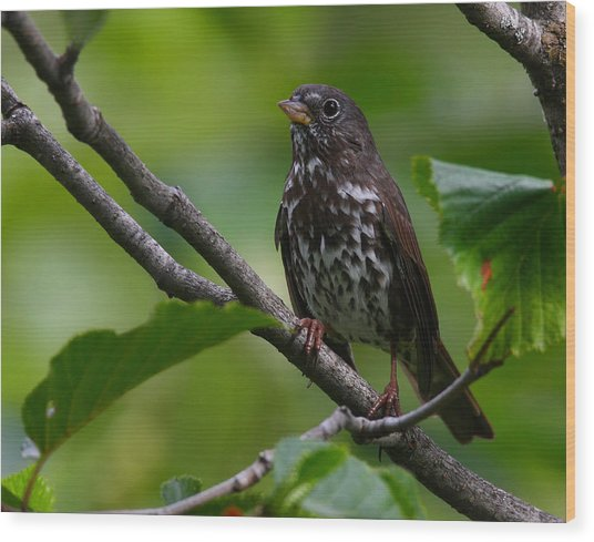 Fox Sparrow Wood Print