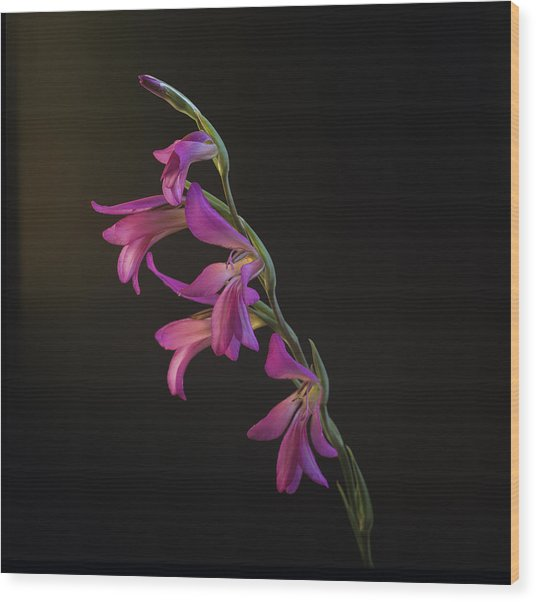 Freesia In The Spotlight Wood Print