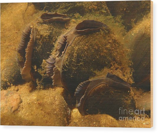 Freshwater Pearl Mussels Wood Print