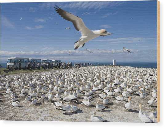 Gannet Safari At Cape Kidnappers Gannet Colony Wood Print by Holger Leue