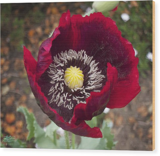 Garden Poppy Wood Print