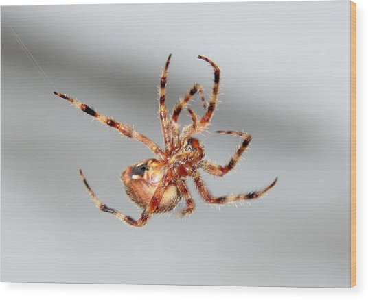 Garden Spider Number 1 Wood Print