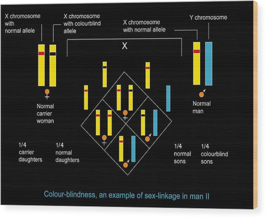 Genetics Of Colour Blindness, Diagram Wood Print by Francis Leroy, Biocosmos