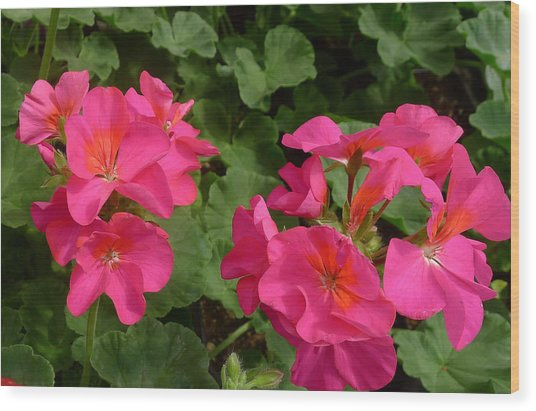 Geraniums Wood Print by Linda Pope