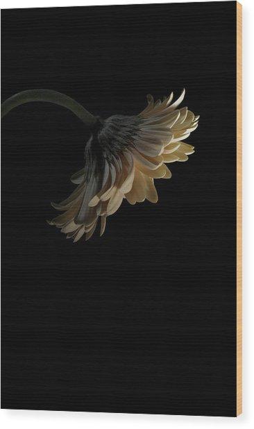 Gerbera Daisy Wood Print by Nathaniel Kolby