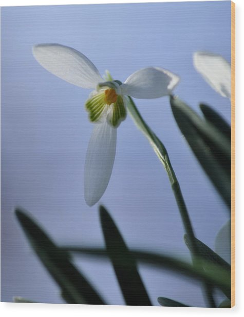 Giant Snowdrop Wood Print