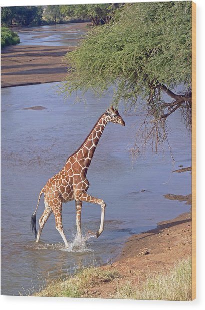 Giraffe Crossing Stream Wood Print
