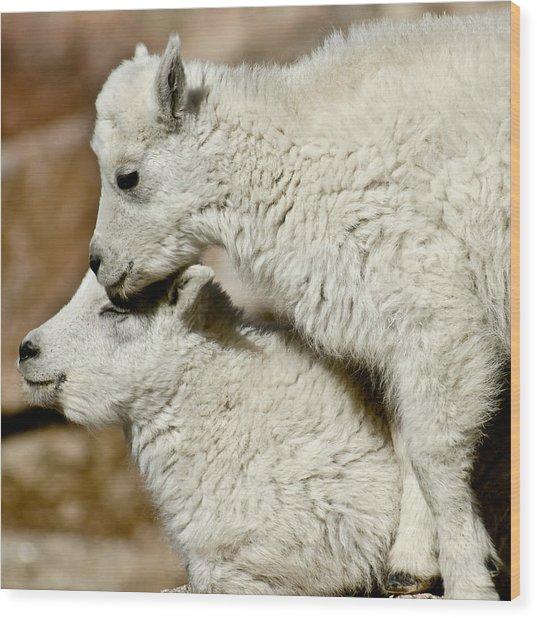 Goat Babies Wood Print