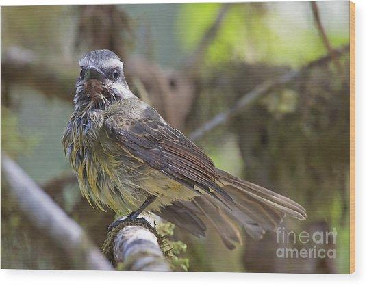 Golden--crowned Flycatcher Wood Print