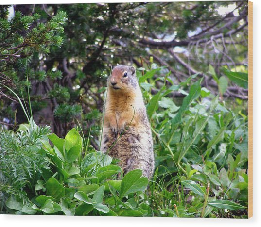 Golden Mantled Ground Squirrel  - Standing Wood Print by Mark Caldwell