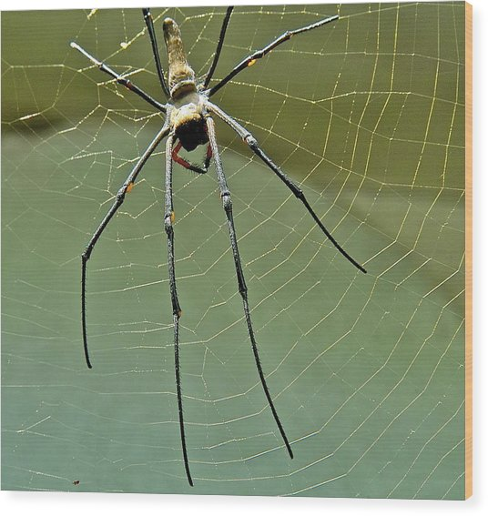 Golden Orb Spider Wood Print
