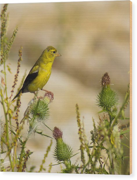 Goldfinch On Lookout Wood Print