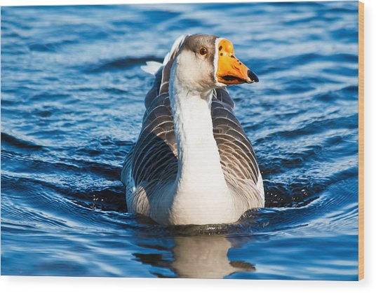 Goose Coming Into Shore  Wood Print