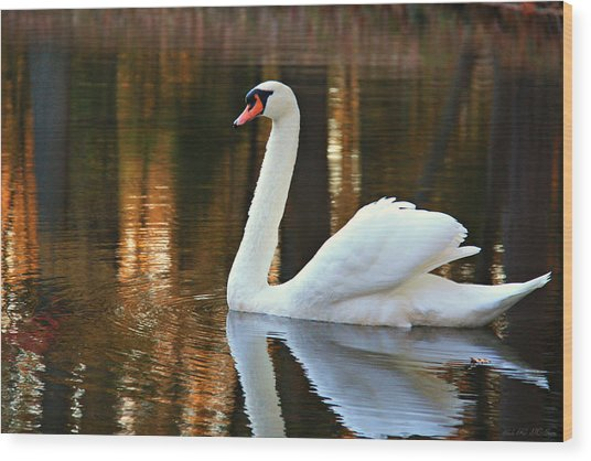 Graceful Swan Wood Print