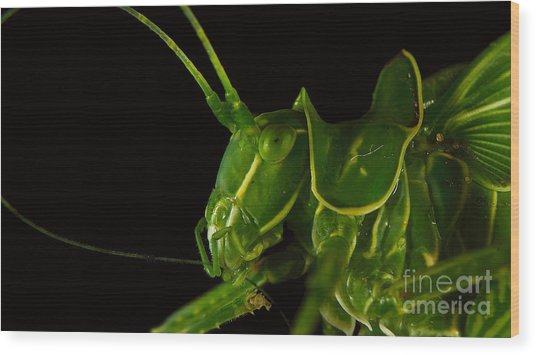 Grasshopper Cleaning Antenna Wood Print