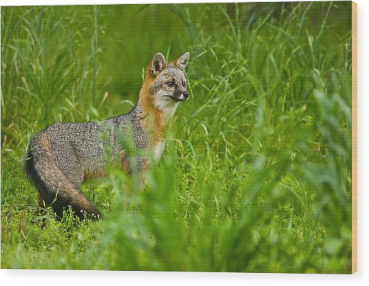 Gray Fox - 5380 Wood Print