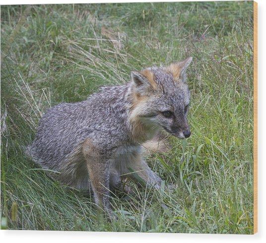 Gray Fox Wood Print by Chuck Homler
