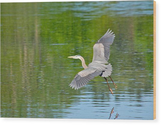 Great Blue Heron - Where To Now Wood Print