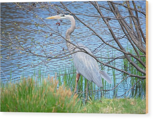 Great Blue Heron At Pond's Edge Wood Print