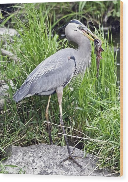 Great Blue Heron Catches Dinner-1 Wood Print by Ilene Hoffman